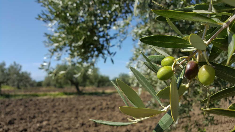 Oleoturismo, una alternativa